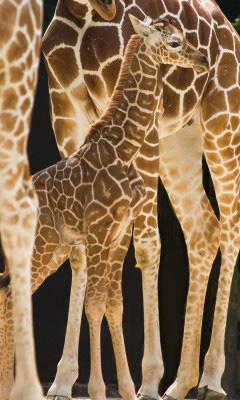 giraffenkind